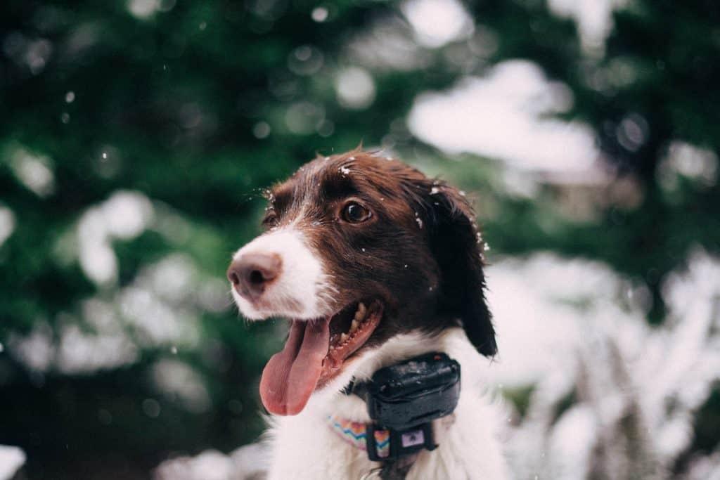 happy dog with GPS collar