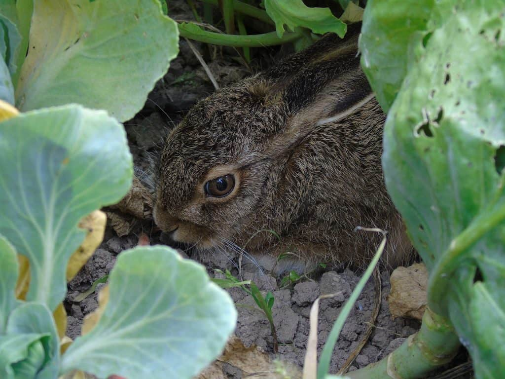 rabbit eating garden plants
